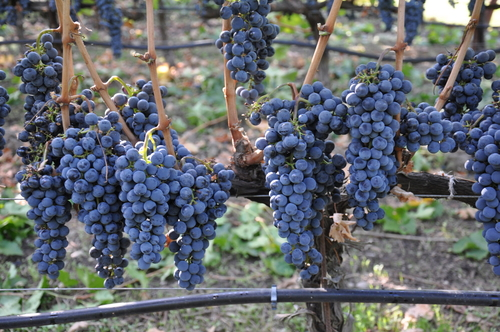 2011 State Lane Vineyard Grapes