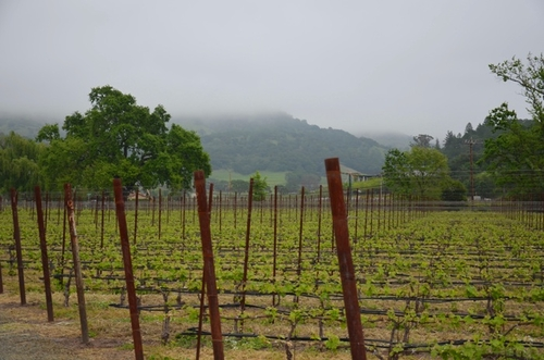 fog over the vineyard
