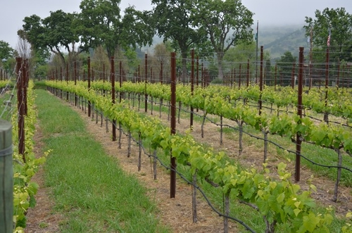 more vineyard rows