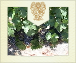 Veraison July 2014