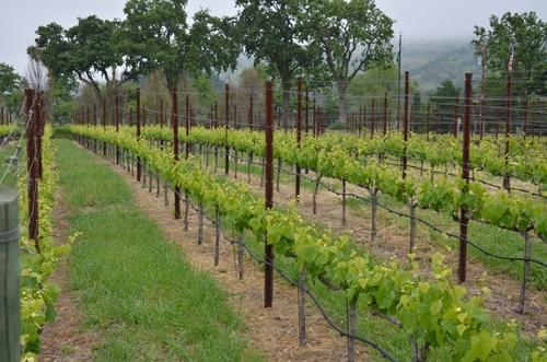 more vineyard rows