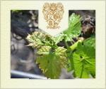 In the vineyard April 2014